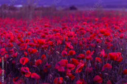 Foto Spatwand Crimson Flowers Red poppies blossom on wild field. Beautiful field red poppies with selective focus. Red poppies in soft light. Opium poppy. Glade of red poppies. Toning. Creative processing in dark low key
