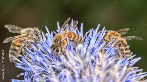 In de dag Bee 3 bees on globe thistle