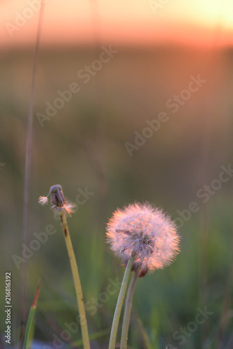 the dandelion at sunset is illuminated by the sun . close-up side. background, photo vertical position