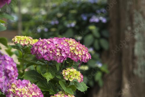 Foto Spatwand Hydrangea Hydrangea un a garden