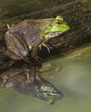 Adult American bullfrog (Lithobates catesbeianus) at the pond with reflection in water, Iowa, USA - 216827307