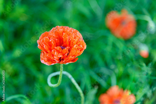 Foto Spatwand Klaprozen Terry red poppy