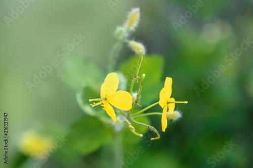 Foto Murales Chelidonium majus yellow flower