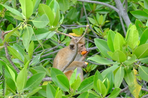 Foto Spatwand Aap Singe qui mange une papaye