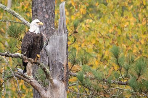 Canvas Eagle Eagle profile
