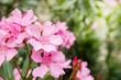 Leinwandbild Motiv Pink oleander or Nerium flower