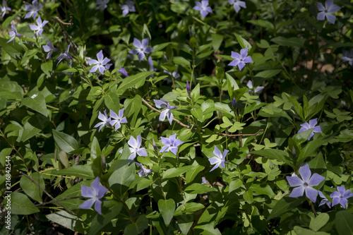 Foto Murales Vinca herbacea, Vinca Major o Herbaceous periwinkle