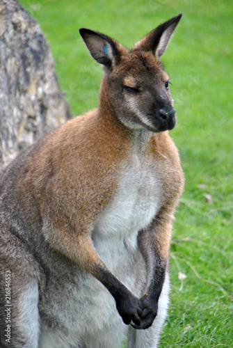 Foto Spatwand Kangoeroe Shot of a red-necked wallaby kangaroo common in Australia