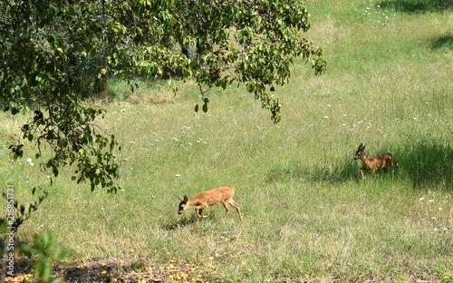 Canvas Hert Zwei rotbraune Rehe unterwegs auf einer Wiese mit Apfelbaum