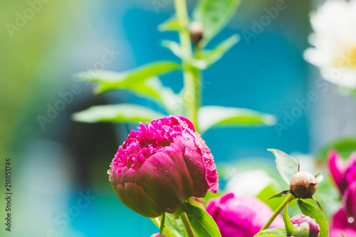 Blooming peony in the garden. Selective focus.