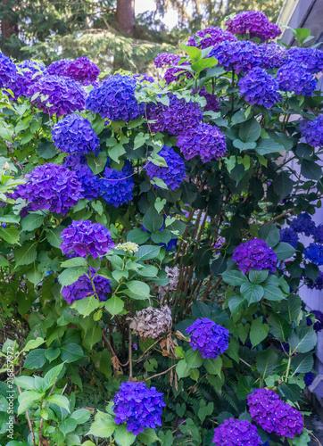 Foto Spatwand Hydrangea Purple and blue Hydrangea Blossoms Closeup 3