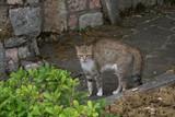 cat,animal,nature,pet,domestic