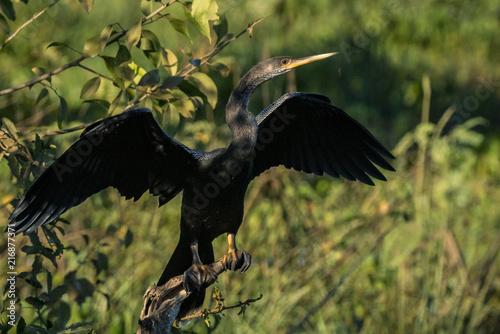 Canvas Eagle Biguatinga / Anhinga (Anhinga anhinga)