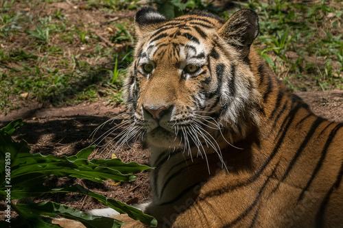 Canvas Tijger Tigre Siberiano / Amur Tiger (Panthera tigris altaica)