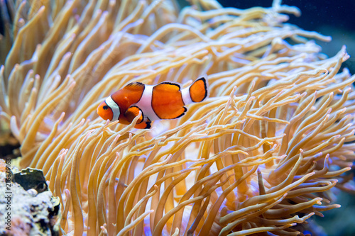 Foto Murales Clown fish in anemone