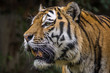 Tigre Siberiano / Amur Tiger (Panthera tigris altaica)