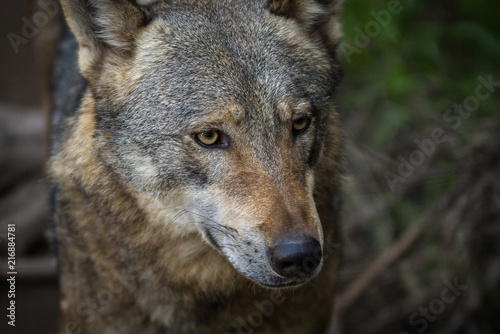 Aluminium Wolf Lobo / Wolf (Canis lupus)