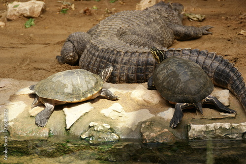 Foto Spatwand Schildpad Alligator