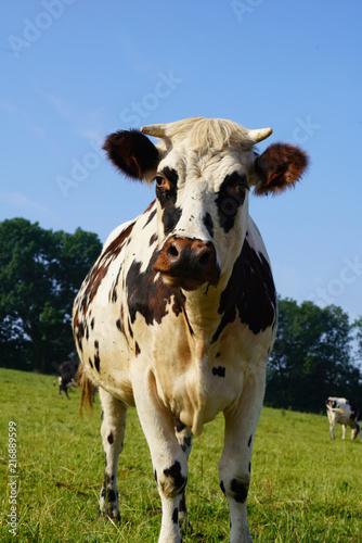 Animal ferme vache 248
