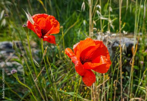 Poppies Closeup - 216895153