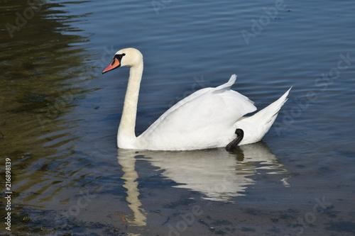 Canvas Zwaan Łabędź Cygnus Swan Schwan Cygne Cigno Cisne лебедь