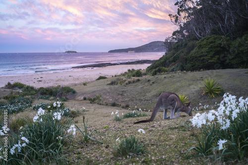 Plexiglas Kangoeroe Pebble Beach, Australia