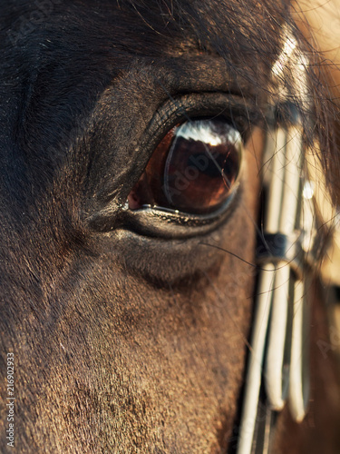 beautiful eye of  black stallion. close  up