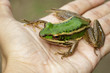 Image of paddy field green frog or Green Paddy Frog (Rana erythraea) on hand. Amphibian. Animal.