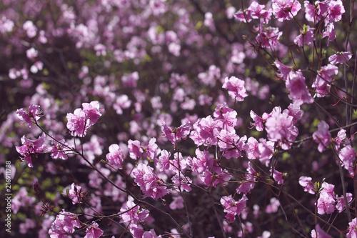 In de dag Azalea wild pink azalea