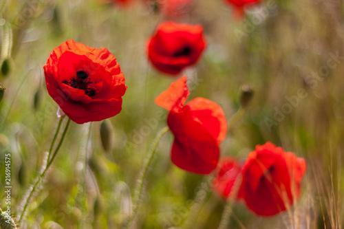 Poppies in a field on a sunny day in Devon - 216914575