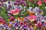 Tulpenblüte im Park