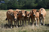 betail vache agriculture levage secheresse