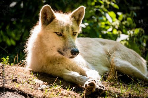 Aluminium Wolf Weißer arktischer Wolf rastet in der Hitze des Sommers