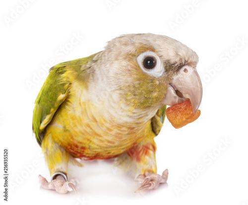 Foto Spatwand Papegaai Green-cheeked parakeet in studio