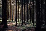 Sonne im dunklen Fichtenwald - 216939359