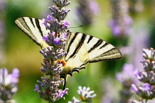 Canvas Vlinder Segelfalter