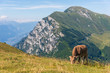 Quadro Cattle with view of Dolomites from Monte Baldo