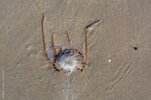 Fototapeta Dead jellyfish remains on sandy beach at low tide on summer evening