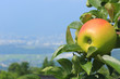 Ripe apple close-up against a blue sky and cityscape in the background. Nagano Prefecture, Japan.