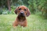 Rhodesian ridgeback puppy in the green park. Small puppy portrait.