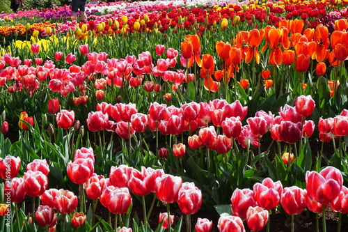 Fotobehang Tulpen tulip, flower, spring, tulips, red, nature, flowers, garden, field, green, plant, pink, beauty, beautiful, color, colorful, blossom, purple, park, summer, floral, petal, flora, bloom, yellow