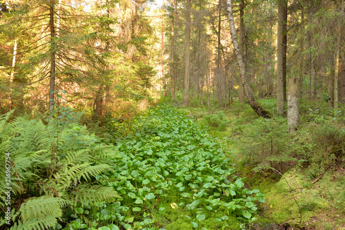 Canvas Pistache Ditch in forest at summer day, Russia.