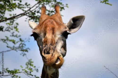 Poster Nosy Giraffe