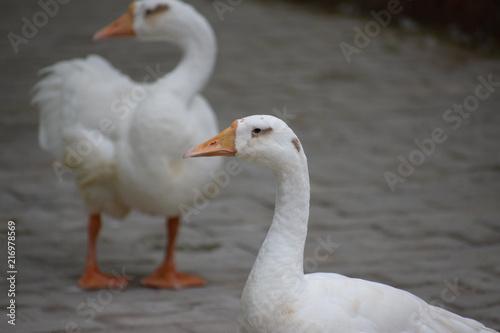 Canvas Zwaan white duck