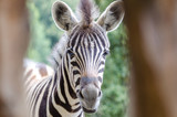 Zebra in Jihlava zoo, Czech republic - 216983742