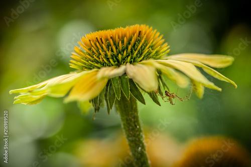 Gelber Sonnenhut mit Spinne