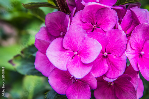 Hortensia flowers in close up - 217011985