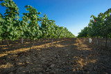 Sunset in the vinyards in Catalunya, Spain - 217012903
