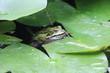 Wasserfrosch    Pelophylax    (Pelophylax)