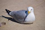 Fluffed Up Seagull